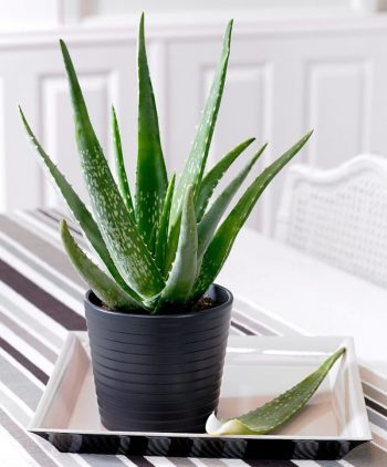 Houseplants That Will Purify The Air in Your Home