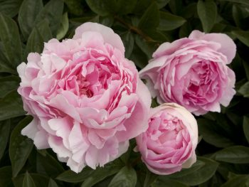 Most Fragrant Plants for Your Yard and Garden